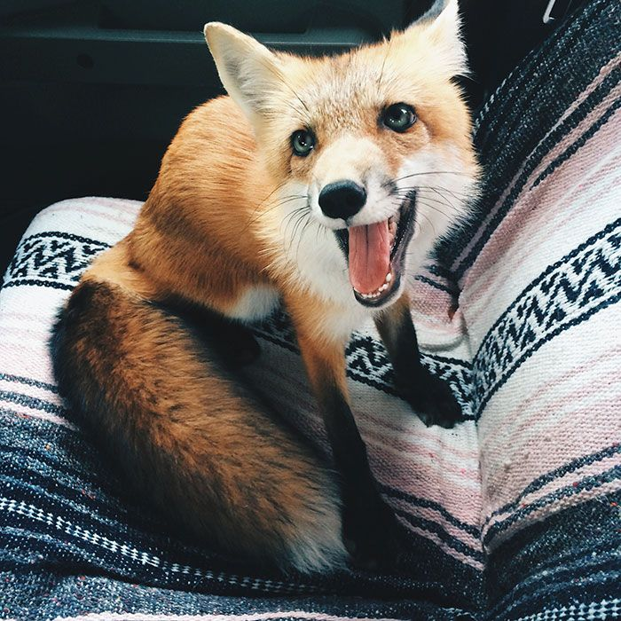 Adorable Foxes: 10 Extremely Cute Photos