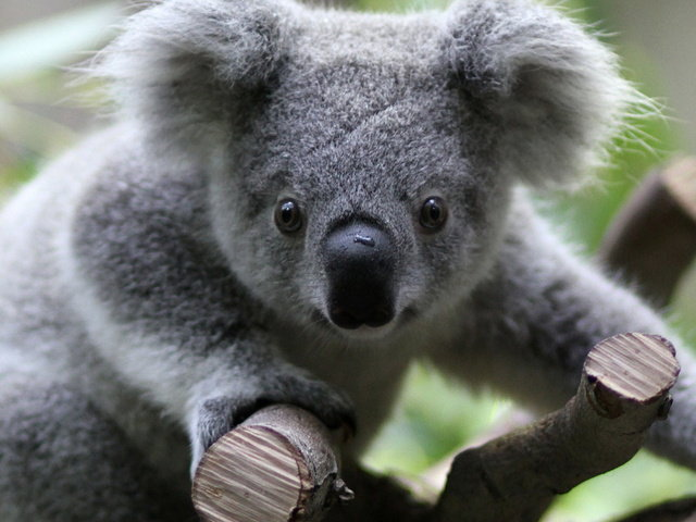 Adorable Koalas: 10 Cute Photos Of These Sleepy Animals