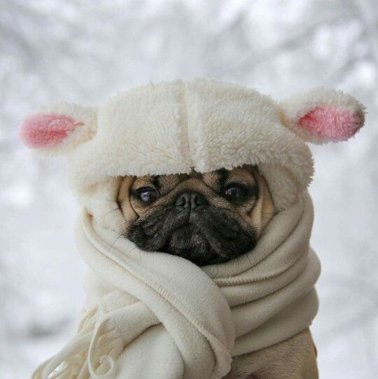 10 Adorable Pugs Want To Make Your Day Brighter
