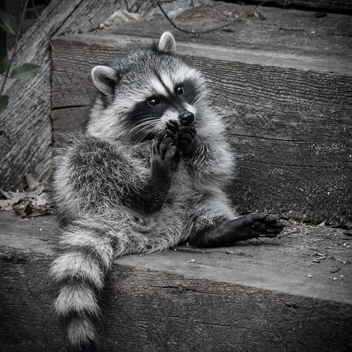 10 Cute And Charming Raccoons To Make You Smile Today