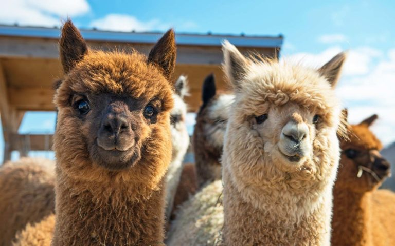 10 Adorable Alpacas Are Here To Make You Smile Today