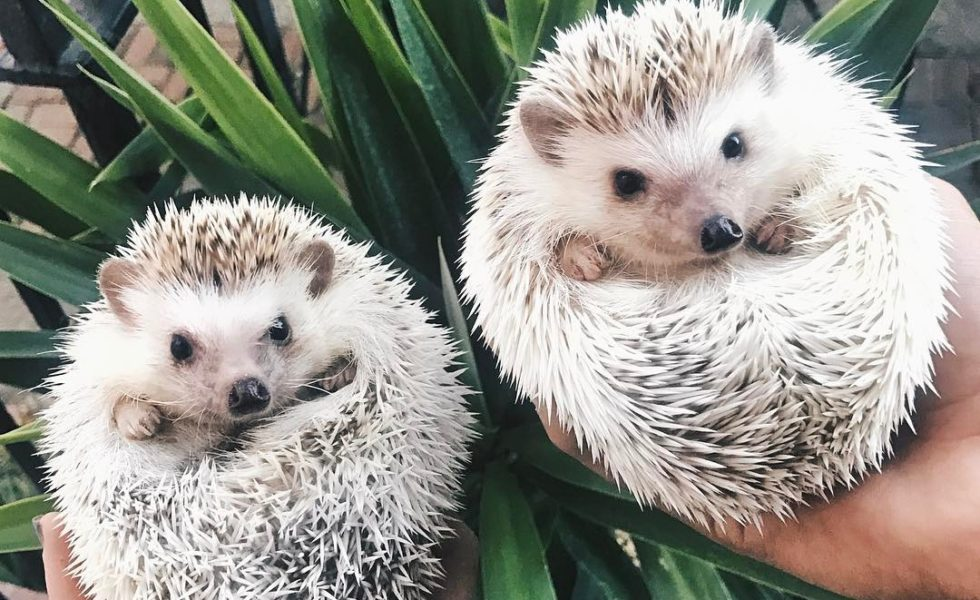 Spiky And Sweet: 10 Lovable Photos Of The Hedgehog Duo