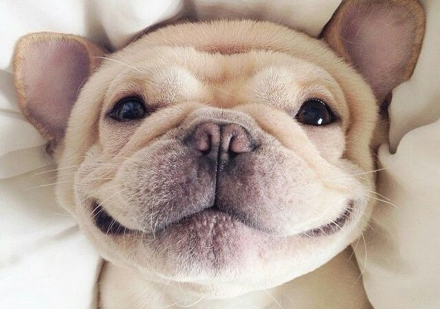 10 Incredibly Sweet French Bulldogs To Make You Smile
